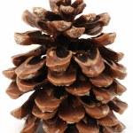 Large pine cone — Stock Photo #6809822