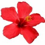 Hibiscus blossom — Stock Photo #6809866