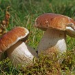 Stock Photo: Boletus twins
