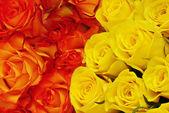 Dos tipos de rosas — Foto de Stock