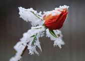 Frozen rose — Stock Photo