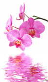Pink orchid reflection — Stock Photo