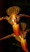 Golden orchids — Stock Photo