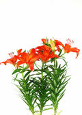 Blooming lilies — Stock Photo