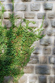 Old wall and ivy — Stock Photo