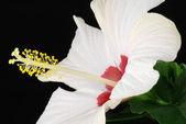 White hibiscus — Stockfoto