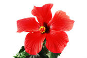 Red hibiscus — Stock Photo