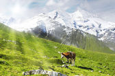 Cow and sun — Stock Photo