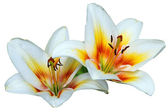Two lilies — Stock Photo