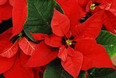 Kırmızı atatürk çiçeği — Stok fotoğraf