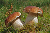 Boletus twins — Stock Photo