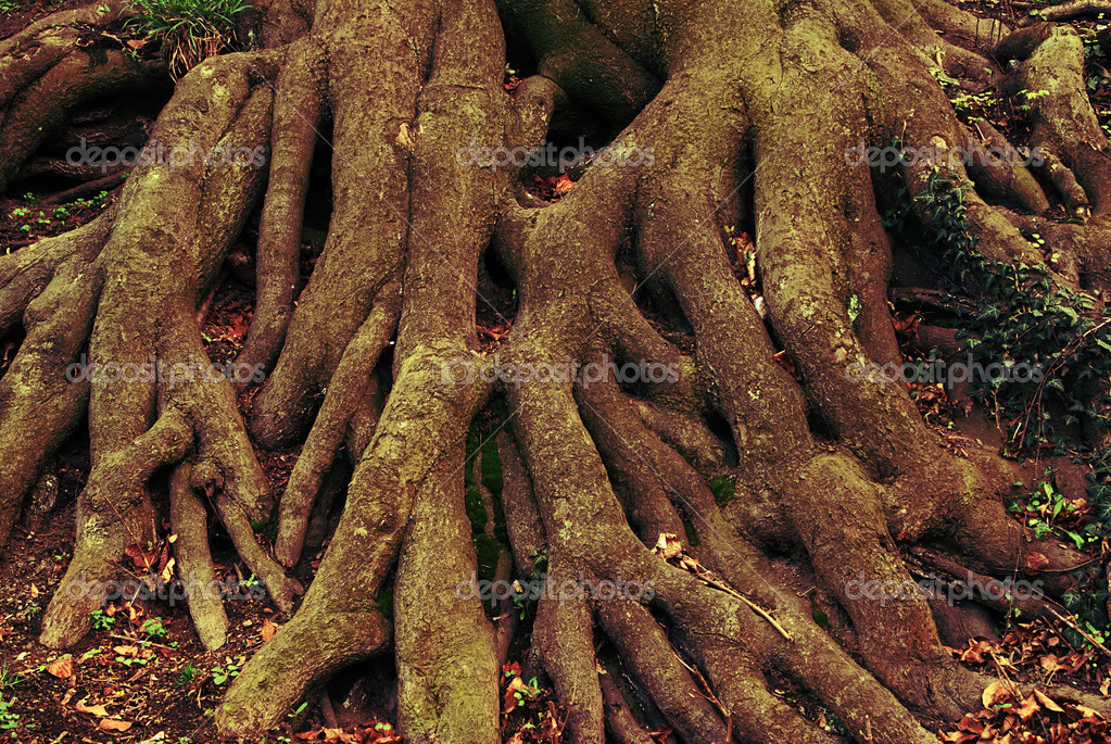 Massive climbing roots of an old tree  Lizenzfreies Foto #6807323
