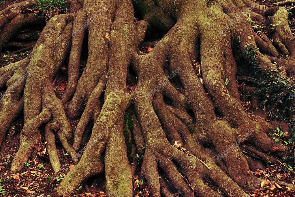 Massive climbing roots of an old tree — Stok fotoğraf #6807323