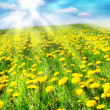 Field of dandelions — Stock Photo #6810056