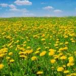 Field of dandelions — Stock Photo