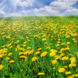 Field of dandelions — Stock Photo