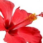 Hibiscus blossom — Stock Photo #6810161