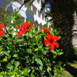 Stock Photo: Hibiscus and hotel