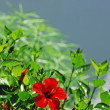 Hibiscus and wall - Stock Photo