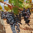 Vineyard with grapes — Stock Photo