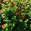 Stock Photo: Hibiscus bush