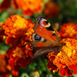 Peacock butterfly — Stock Photo #6810950