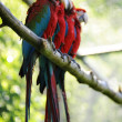 Macaw birds — Stock Photo #6811956