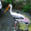 painted stork — Stock Photo