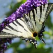 Scarce swallowtail — Stock Photo #6812076