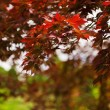 Stock Photo: Japenese maple