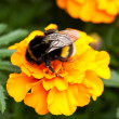 Stock Photo: Bumblebee ona beautiful orange flower