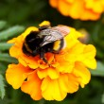 Bumblebee ona beautiful orange flower — Stock Photo