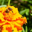 Bee and marigold — Stock Photo #6812293