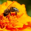 Stock Photo: Bee and marigold