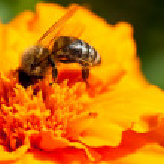 Bee and marigold — Stock Photo