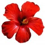 Hibiscus blossom — Stock Photo #6812340
