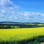Rape fields scenery — Stock Photo