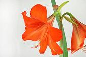 Red amaryllis — Foto Stock