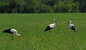 Three storks in the field — Stock Photo