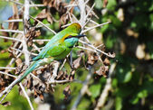 Two Green Bee-eater birds — Stock Photo