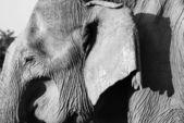 Oude olifant — Stockfoto