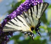 Scarce swallowtail — Stock Photo