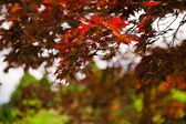 Japenese maple — Stock Photo