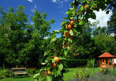 Garden with garden house, apricots and bench — Stock Photo