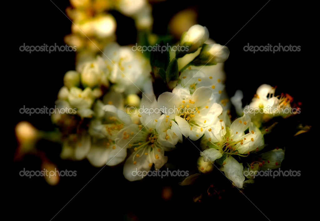 Spring dreamy bloom of a wild apple tree with a blurred black background  Stock Photo #6810059