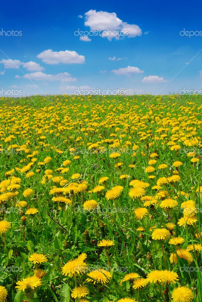 Beautiful summer field full of yellow blooming dandelions — Stock Photo #6810061