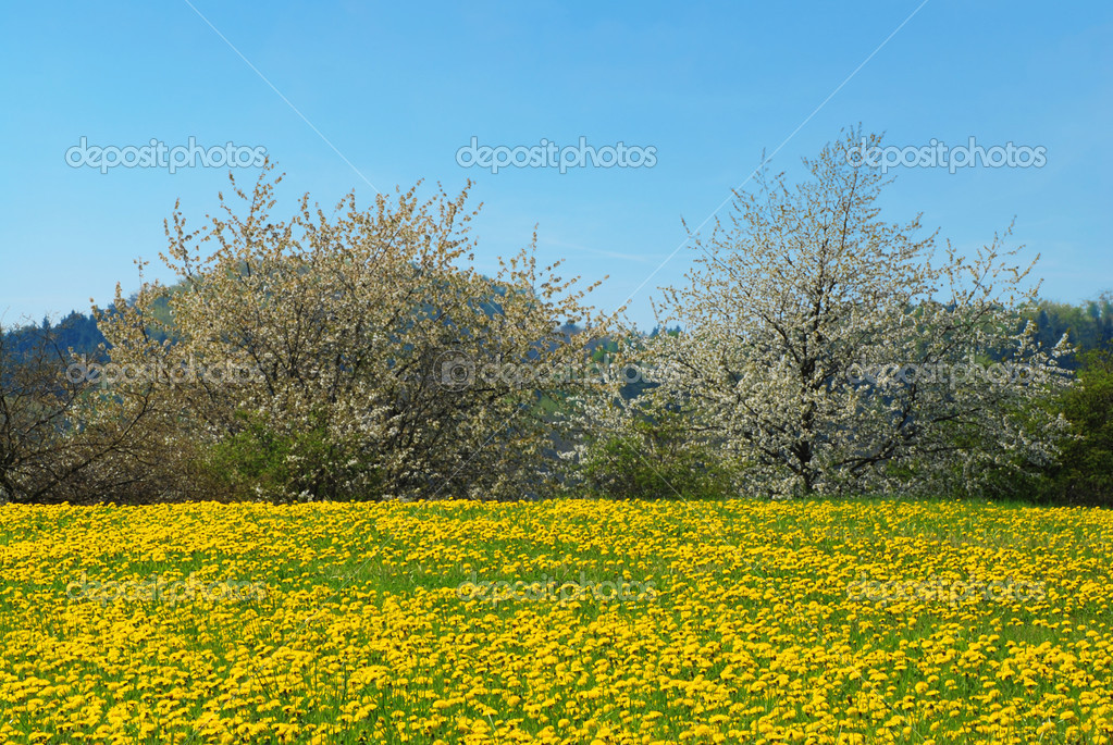 Beautiful spring landscape with blooming yellow dandelions and cherry tree — Stock Photo #6810074