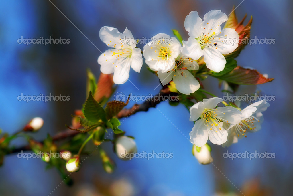 Spring bloom of a wild apple tree with a blue sky — Stock Photo #6810076