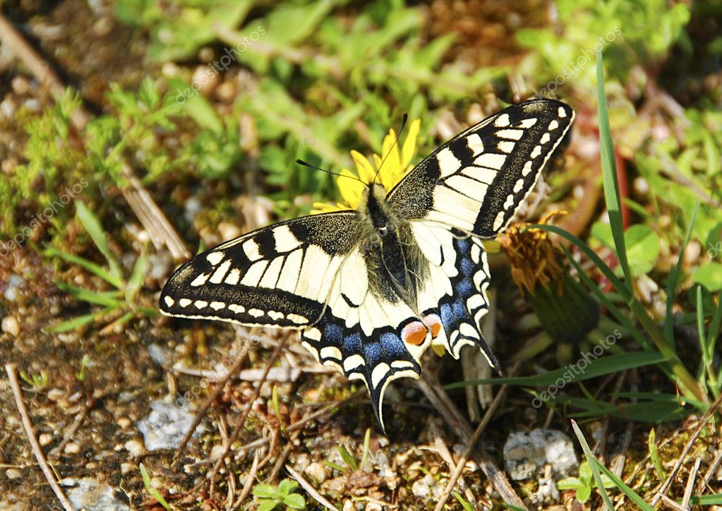 Beautiful swallowtail butterfly is sitting on a dandelion in the meadow — Stock Photo #6810093