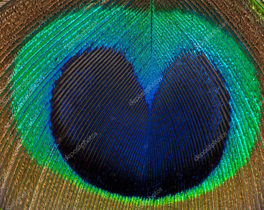 Detailed photo of a beautiful vivid peacock feather — Stock Photo #6812225